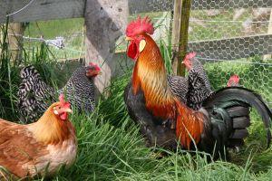 chickens-lr